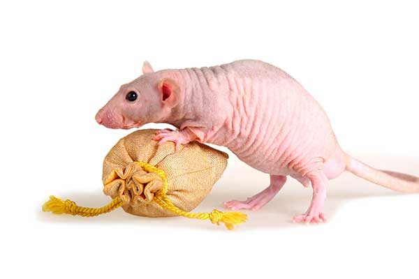 hairless types of pet rats is the best type of rat for a pet if you have fur allergies.