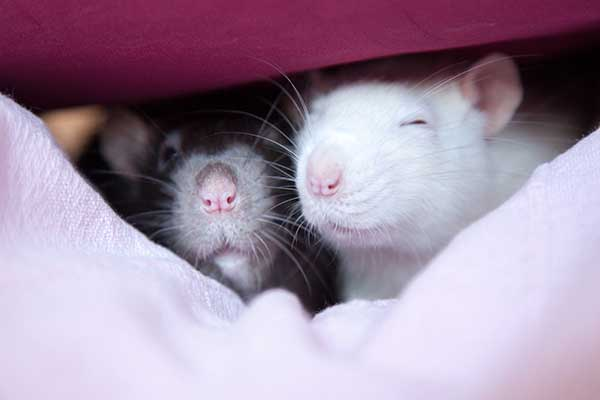 a pair of pet rats living together