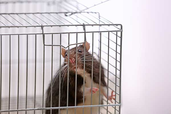 a pet rat in its cage
